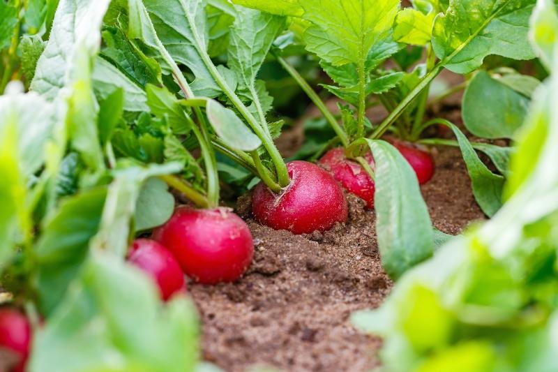 Faire pousser des radis sur un balcon